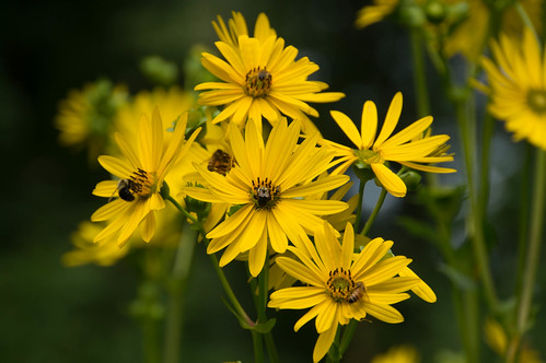09142 Bees on Cup Plant