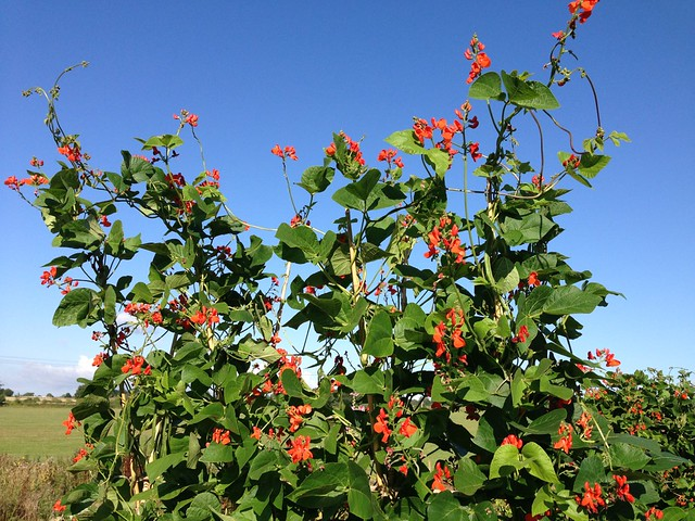 Very impressive Runner beans and Sunflowers on the allotments.