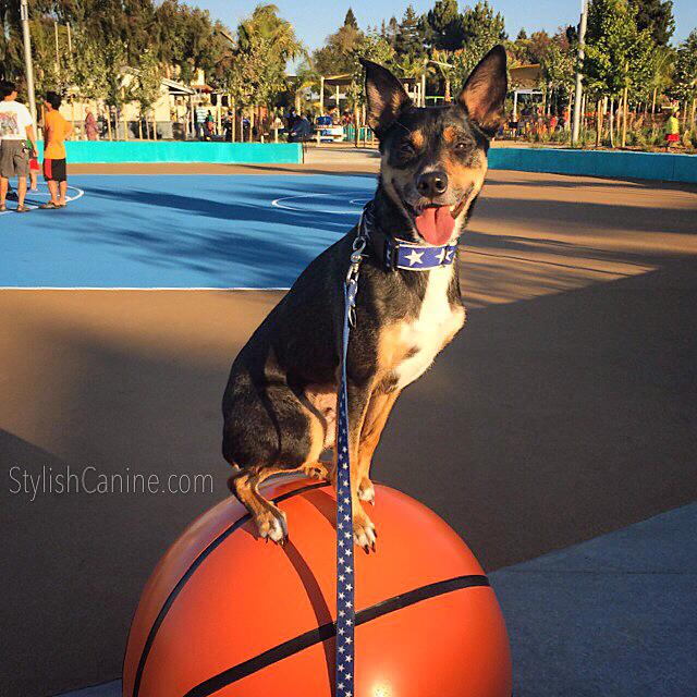 Dog balancing on top of a large basketball.