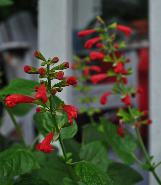 Salvia 'Lady in Red'