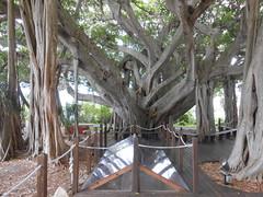 Base Of The Banyan