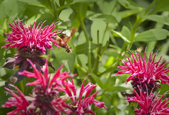 blossom(0.0), shrub(0.0), nectar(0.0), macro photography(0.0), flower(1.0), plant(1.0), bee balm(1.0), scarlet beebalm(1.0), insect(1.0), herb(1.0), wildflower(1.0), flora(1.0),