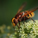Large hoverfly Volucella zonaria feeding