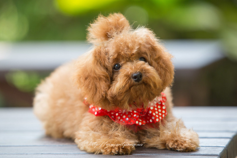 pet, dog, poodle, toy poodle, pet photography