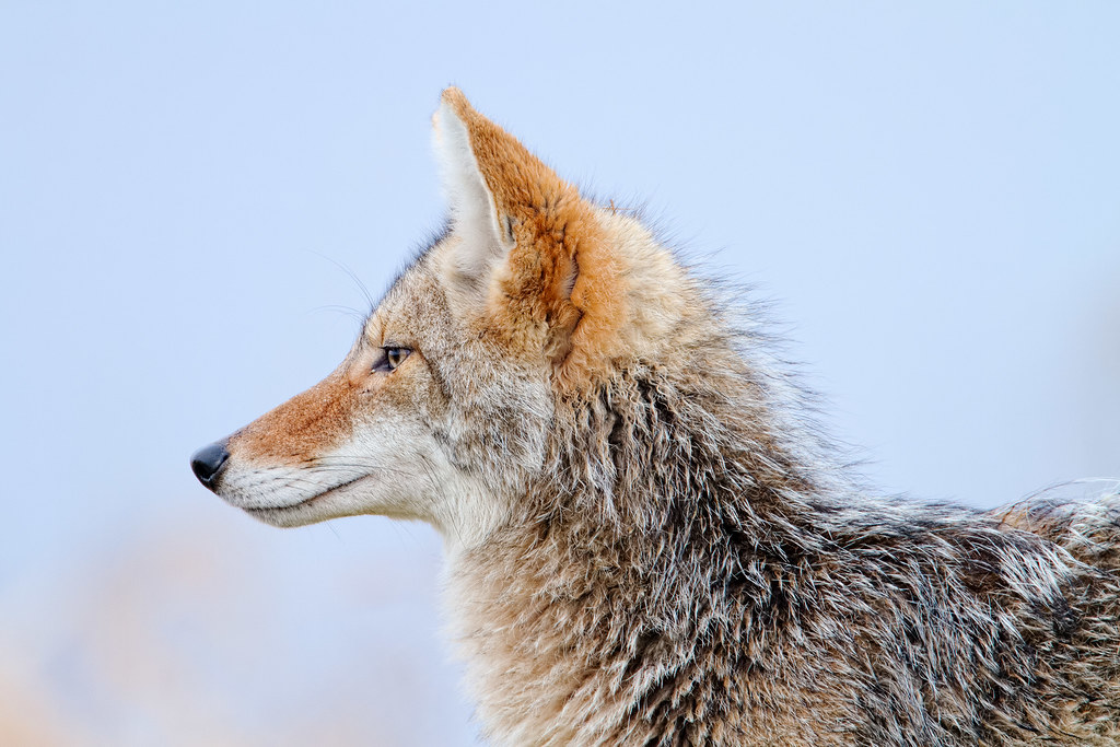 A close-up view of the head and shoulders of a coyote