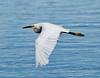 Great egret cruising 4