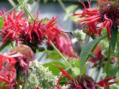 shrub, flower, leaf, red, plant, bee balm, scarlet beebalm, herb, flora,