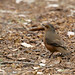 Small photo of Climacteridae - Rufous Treecreeper