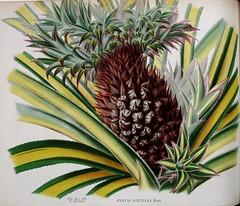 Pineapple. Ananas comosus [as A. porteana Hort.] La Belgique horticole, vol. 22 (1872)