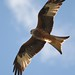 Red Kite by sparksource.co.uk