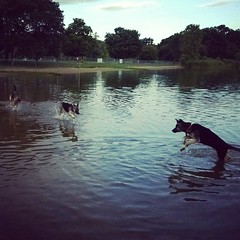 Dog park shenanigans. #shepsky #husky #gsd #germanshepherddog #puppy #water #dogpark #bowwowbeach