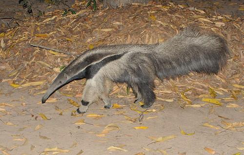 giant anteater1