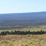 Cryptomeria japonica stands on Mauna Kea