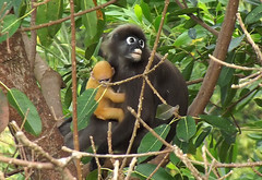 chimpanzee(0.0), rainforest(0.0), tufted capuchin(0.0), capuchin monkey(0.0), white-headed capuchin(0.0), ape(0.0), animal(1.0), monkey(1.0), mammal(1.0), fauna(1.0), spider monkey(1.0), old world monkey(1.0), new world monkey(1.0), jungle(1.0), wildlife(1.0),