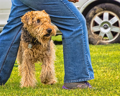 animal, dog, pet, mammal, lakeland terrier, welsh terrier, terrier,