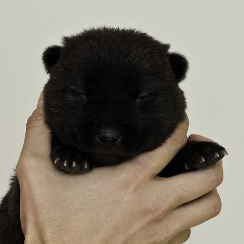 Nori-Litter2-10Days-Puppy4(male)a