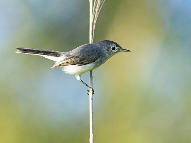 Blue-gray Gnatcatcher 20140905