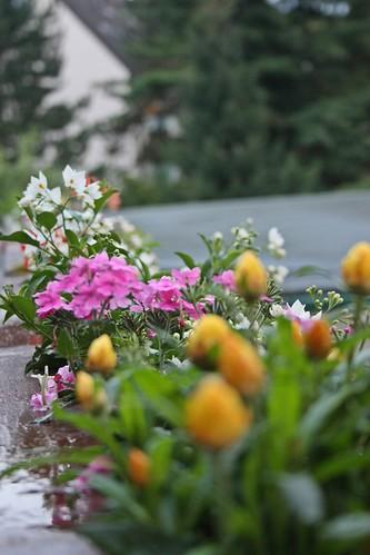 Goldengelchen Spätsommerblumen01