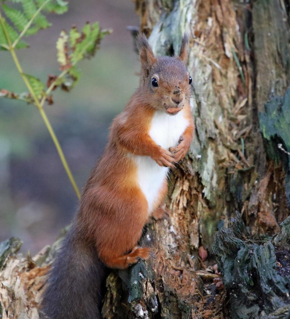 0K4A7801_2 Crop  Red squirrel.