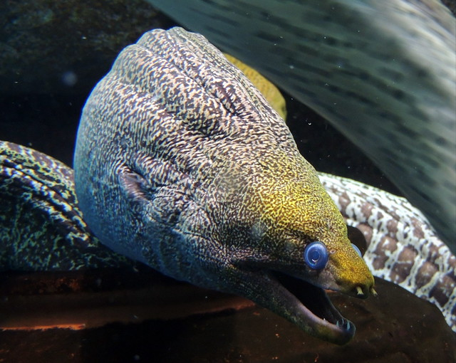Scary Ripple Moray eel