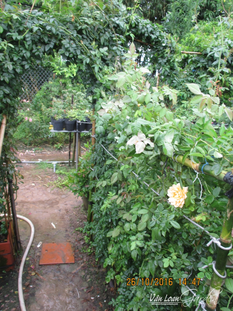 lam gian mat bang hoa hong leo (8)-vuonhongvanloan.com