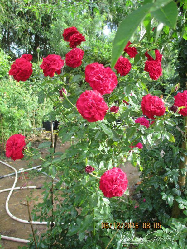 1 cành hoa hồng Monalisa thôi đã đủ cho ngày Valentine 14/2 của tôi