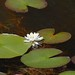 Nymphaea odorata (Fragrant Water Lily) by birdgal5