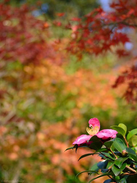 紅葉とサザンカ