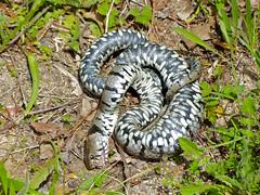 Grass Snake (Natrix helvetica) playing dead