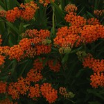Solitary Bees work Asclepias tuberosa, Butterfly Weed