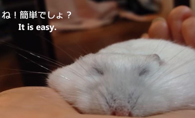 超療癒倉鼠,睡著後大變身萌翻網友!