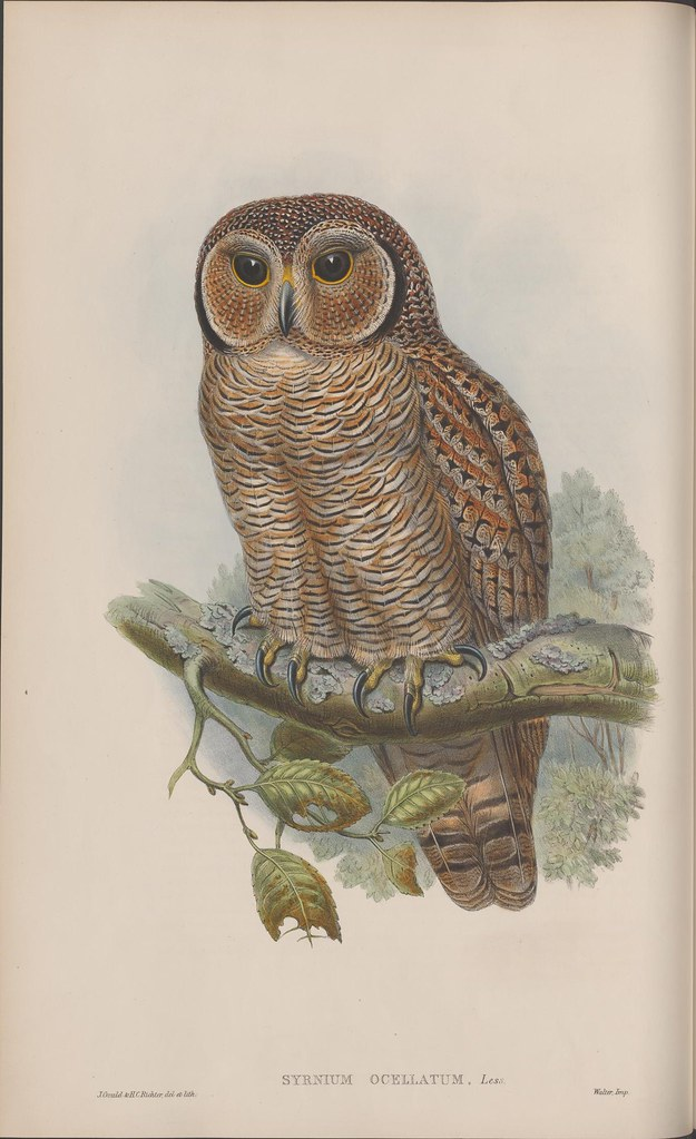 Gould natural history lithograph of owl on partial branch