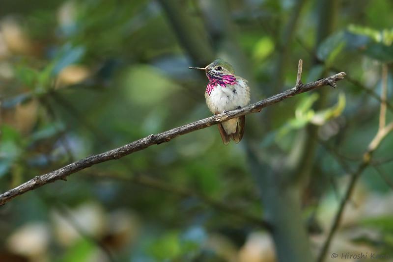 Calliope-Hummingbird-051014-2