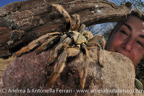 reefwondersdotnet posted a photo:	Photographer Antonella Ferrari with Golden Brown Baboon Spider Augacephalus sp., a rare and endangered species, Kruger National Park, Limpopo Province, South Africa
