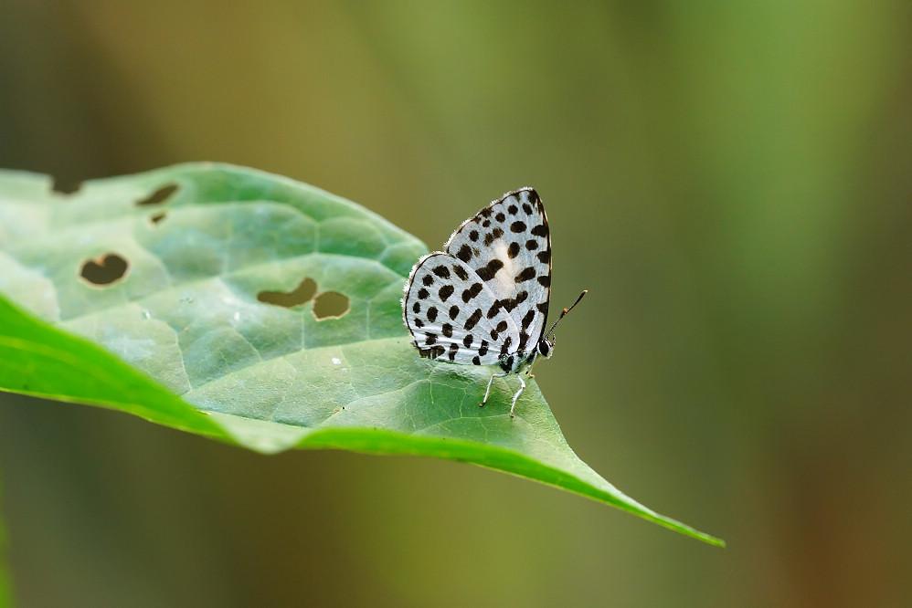 蚜灰蝶屬蚜灰蝶14S105