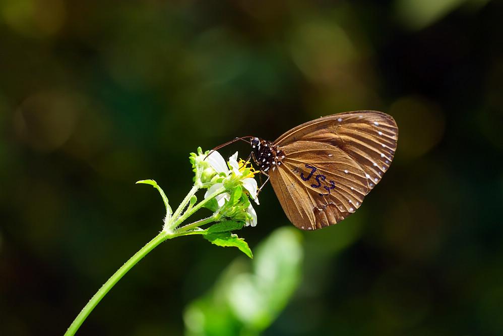 紫斑蝶屬小紫斑蝶14S101