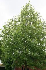 1. Juni 2014 - 13:49 - Tulpenbaum Blüte Anfang Juni 2014