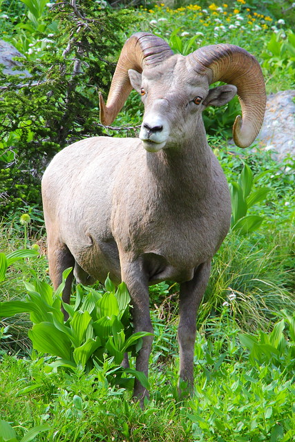 IMG_7259 Bighorn Sheep, Grinnell Glacier Viewpoint Trail