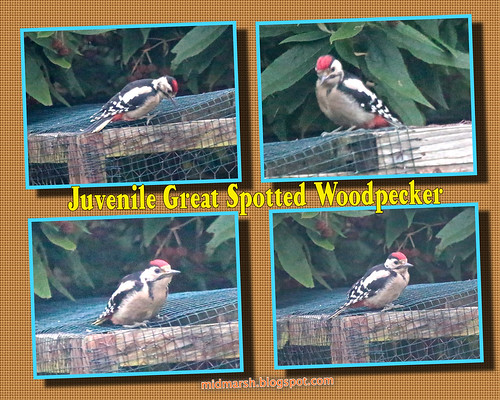 Juvenile Great Spotted Woodpecker 02