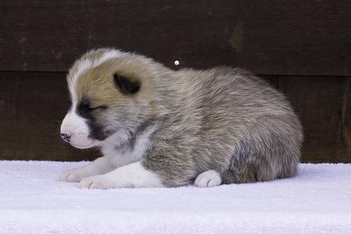 Anya-Litter1-20Days-Puppy1(Male)c