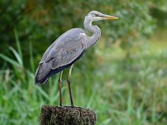 little blue heron(0.0), great egret(0.0), ibis(0.0), animal(1.0), green(1.0), fauna(1.0), heron(1.0), pelecaniformes(1.0), beak(1.0), bird(1.0), wildlife(1.0), egret(1.0),