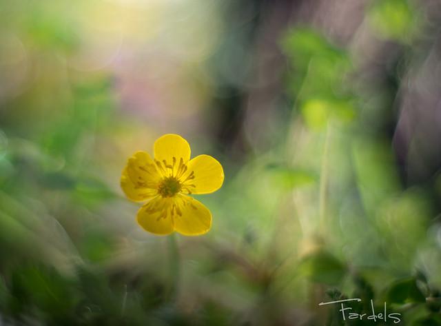 Golden Flower in the Forest ..Ranunculus sp - boton dorado