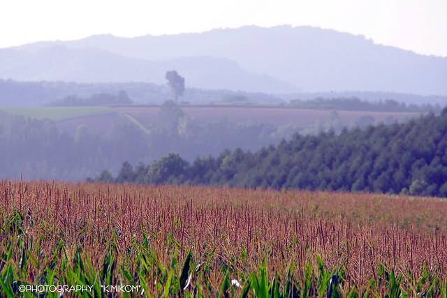 デントコーン畑2