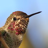 Mr. Anna's Hummingbird