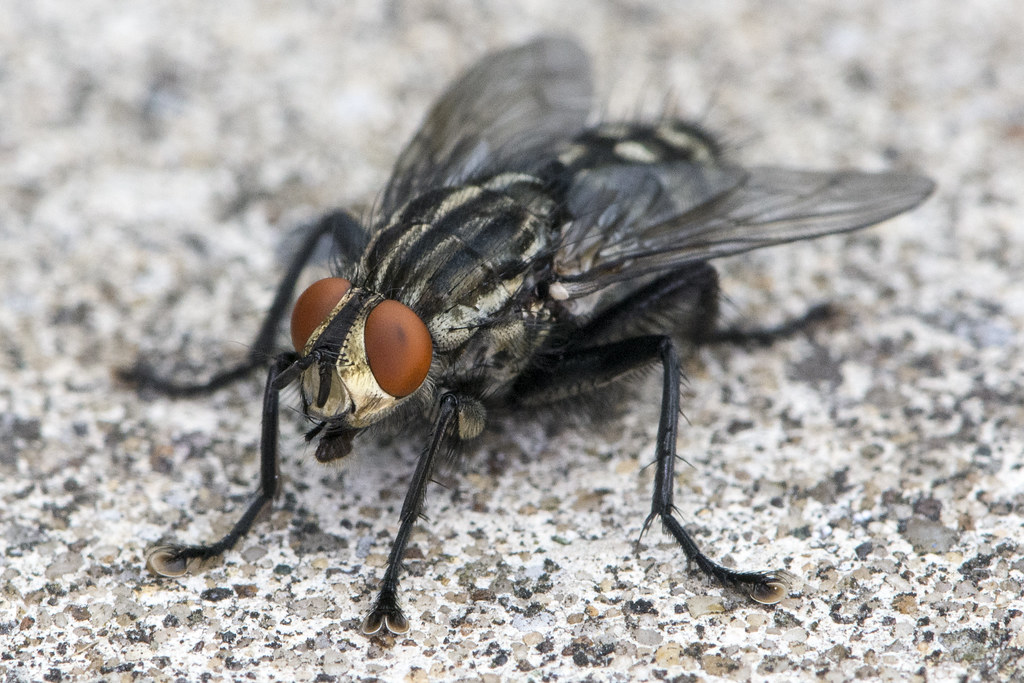 Sarcophaga sp - Flesh Fly