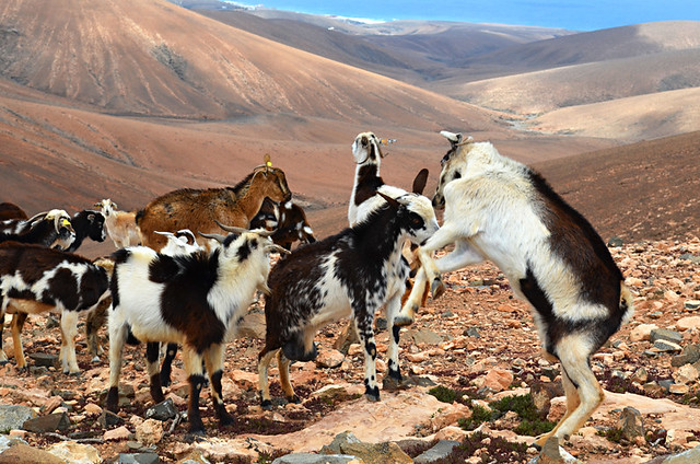 Goat fight, Fuerteventura