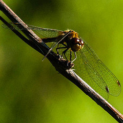 leaf(0.0), arthropod(1.0), animal(1.0), damselfly(1.0), fly(1.0), dragonfly(1.0), dragonflies and damseflies(1.0), branch(1.0), wing(1.0), invertebrate(1.0), macro photography(1.0), green(1.0), fauna(1.0), close-up(1.0), net winged insects(1.0), plant stem(1.0),