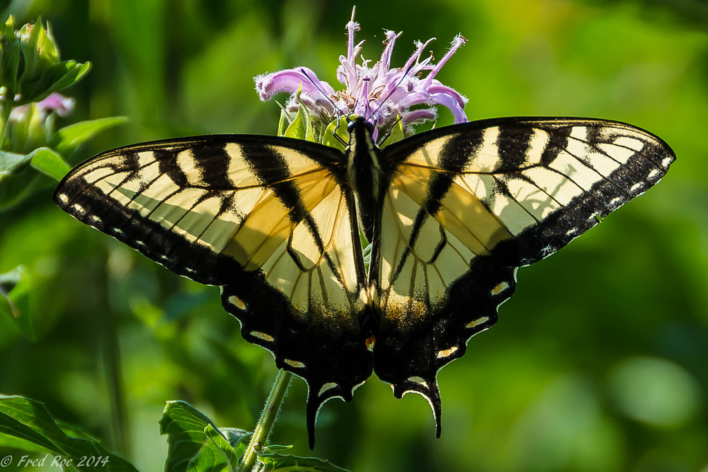 Eastern tiger swallowtail [Papilio glaucus] on Bee Balm [Monarda]
