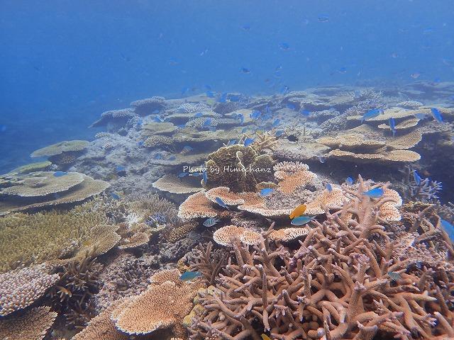 サンゴに舞うデバスズメダイに癒されました♪