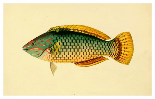 009-Sparus Decussatus-A selection … the fishes …of Ceylon-1834 John B. Whitchurch